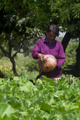 A farmer looking at gourd for making tumba of taanpura (or tanpura)